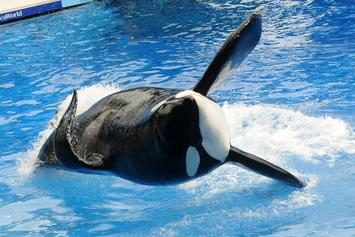 Famed Killer Whale Tilikum Has Died At Age 36