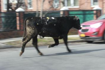 The Runaway Bull Who Evaded Police For Hours In NYC Has Died